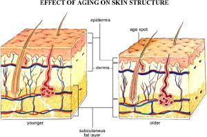 Skin boosters in dermis diagram